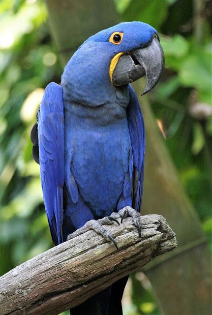 Blue Macaw (Hyacinth Macaw)