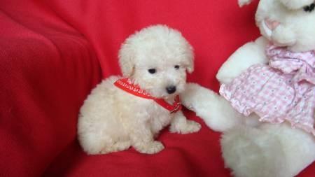 ¡Cachorritos Caniches Toy en venta publicados en Vivavisos! http://venta-mascotas.vivavisos.com.ar/comprar-mascota+botanico/caniches-toy-y-mini-toy--calidad--tarj-cred-1558883900/47683657