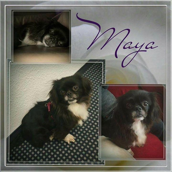 Auch Minimaus Maya hat es gut auf ihre tolle Pflegestelle in Oberhausen geschafft. Sie sucht jetzt auch fleißig ihre Familie   Unsere süße Maya ist eine kleine Maus von 7 Jahre und hat eine Schulterhöhe von ca 30cm. Maya ist super lieb und verschmust. Sie ist verträglich mit ihren Artgenossen und geht gut an der Leine. Maya ist gechipt und geimpft und wird nur nach VK und mit Schutzvertrag vermittelt.  Anfragen bitte NUR telefonisch Mo-Di u. Do-Sa unter 49 162 247 15 87 v. 10-13 u. 15-18h…