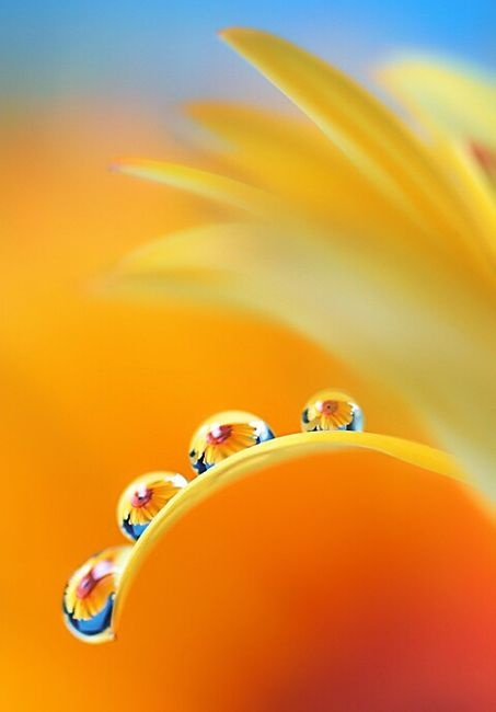 Water droplets magnify a yellow daisy. So pretty!