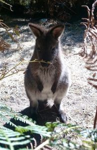 Raised and released wallaby joey.  Little Banjo is enjoying her life out in the wild now. Click on the link to see the full story! 😃