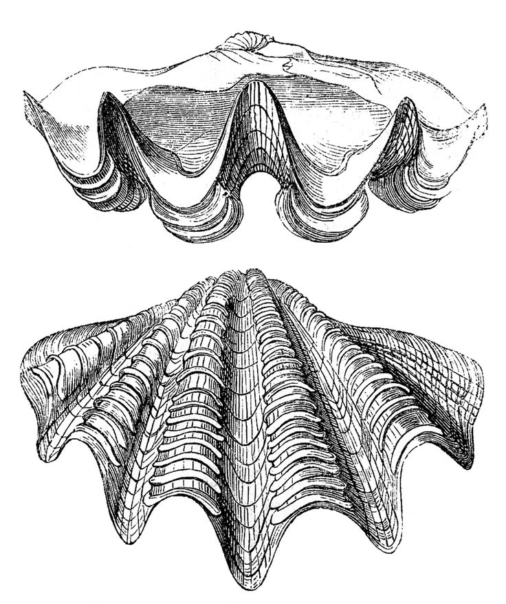 3 Different Vintage images of Seashells from an early Natural History book.