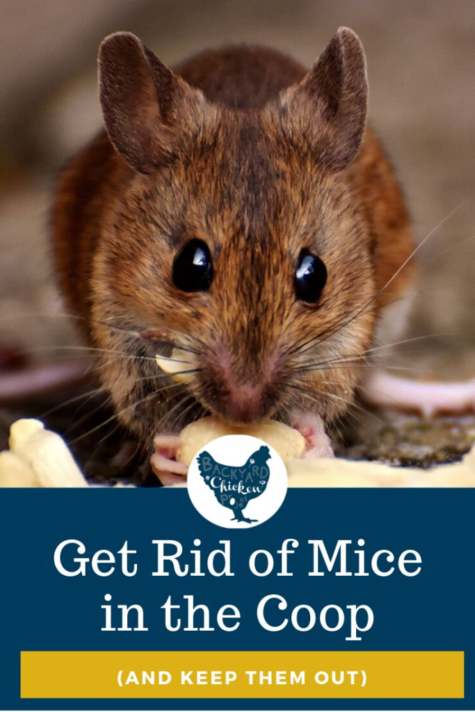 How to Get Rid of Mice in the Chicken Coop   Getting rid ...