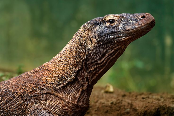 Komodo dragon is the largest #lizard in the world. In the same time, these dragons have the smallest home range of any large predator in the world. If you're curious, you can discover the dragon in #Rinca, #Komodo, #Gili Dasami, #Gili Montang and islands of #Flores ! @luxly_singapore