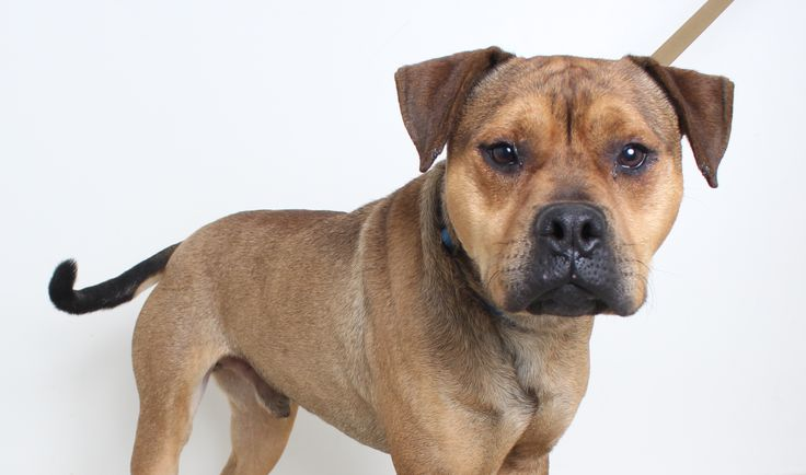 American Staffordshire Terrier dog for Adoption in Eden
