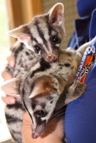 Civets are small, lithe-bodied, mostly arboreal mammals native to the tropics of Africa and Asia.