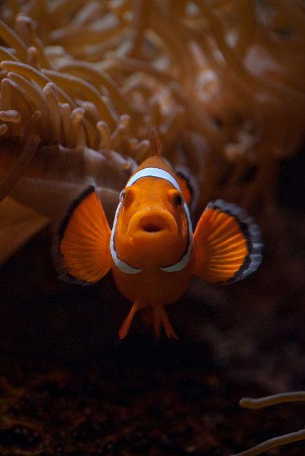 clownfishSealife, Clownfish Nemo, Nemo Clownfish, Animal