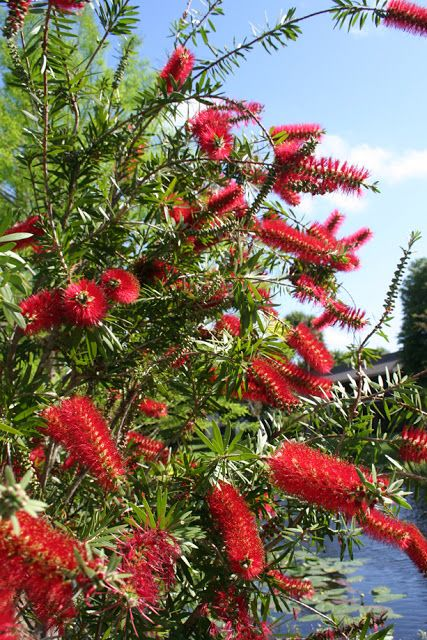 The Rainforest Garden: Plant Profile - Bottlebrush, Callistemon Citrinus