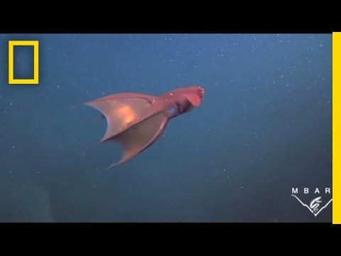 Meet the Vampire Squid | National Geographic - YouTube