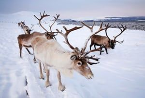 The UK's only free-ranging herd of reindeer resides in the Cairngorm mountains in Scotland, having lived in the national park since 1952. The tame animals, of which there are about 150, graze across more than 10,000 acres