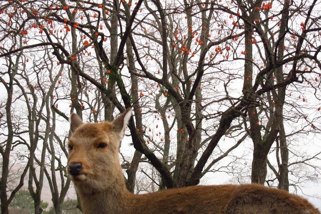 Nara!   Round of the Seasons in Japan: Japanese Persimmon