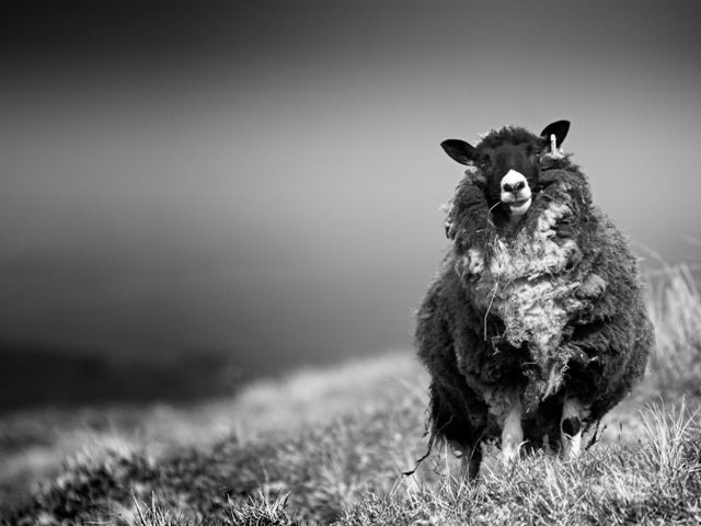 Shetland Sheep. Where my favourite fibre comes from.
