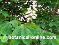 Eliminar varices: Castaño de indias, una planta utilizada en el tratamiento natural contra los varices y otros problemas relacionados con la mala circulación.