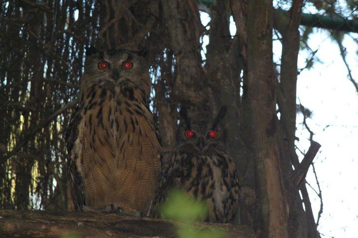 Pareja de Buho Real en las instalaciones del Parque Zoológico Ornitológico de Avifauna. Una hembra y su retoño
