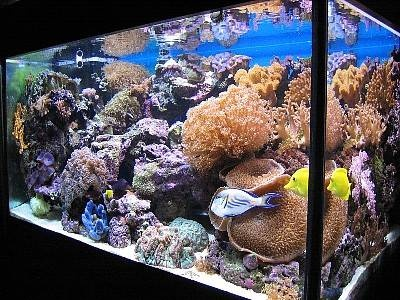 Christopher Lee's 150g Reef Tank | Top 126 to 150 Gallon Reef Tank Photo Gallery