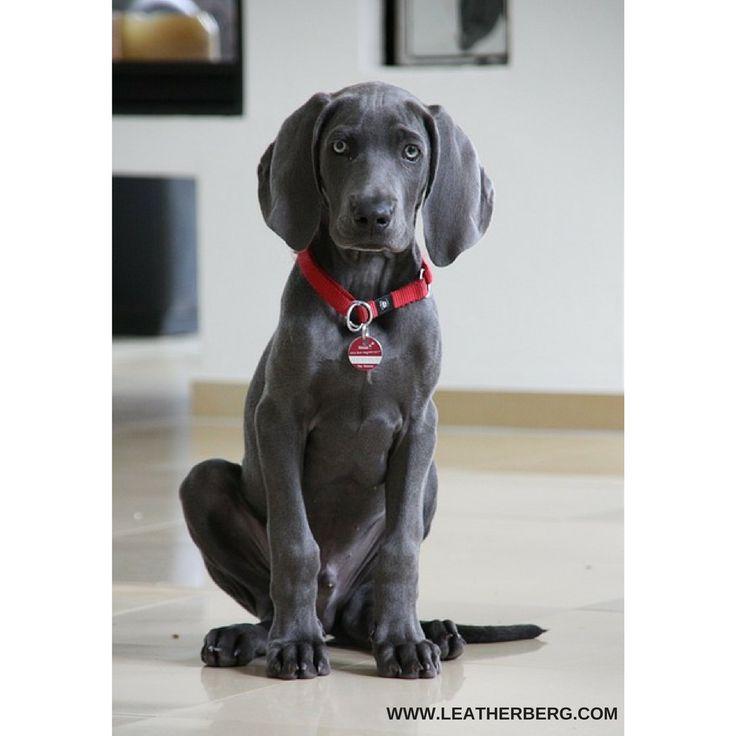 #dog#dogs#puppy#youngdog#weimaraner#weimaraners#dogstagram#dogsofig#dogslove#doglovers#dogleashes