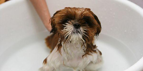 Aprenda aqui como fazer um shampoo caseiro para animais, que além de deixar o seus animais limpos e cheirosos vai te ajudar a eliminar as pulgas!