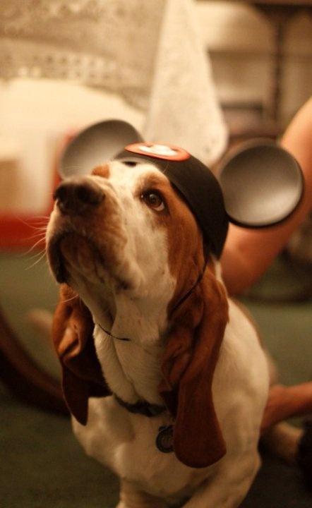 My basset hound Merv Griffin