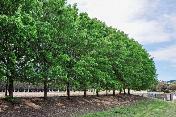 Pyrus ussuriensis   Advanced Trees   Wholesale Nursery - TGA Australia