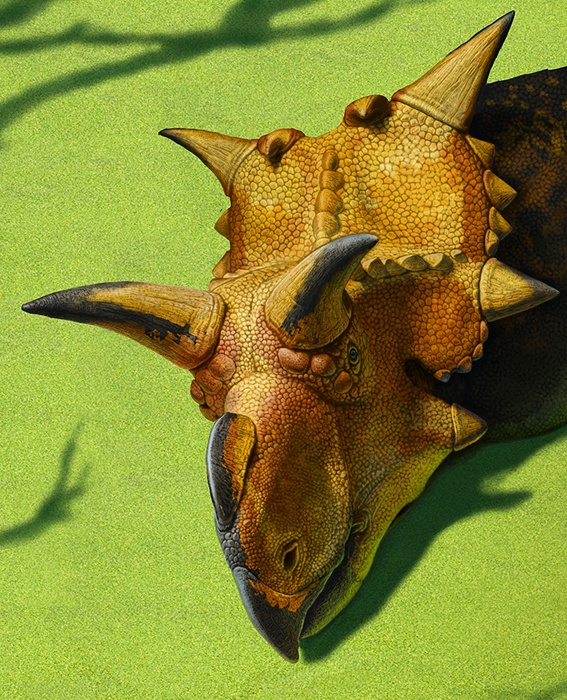 1000+ images about Ceratopsians on Pinterest | Horns ...