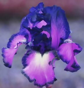 How to Grow Irises in Patio Containers
