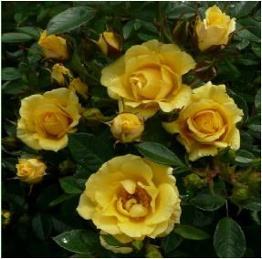 Rose Naming Opportunities  Little Annie (Dicfanfare)  In memory of a loved one