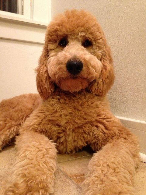 golden doodle hair | photo