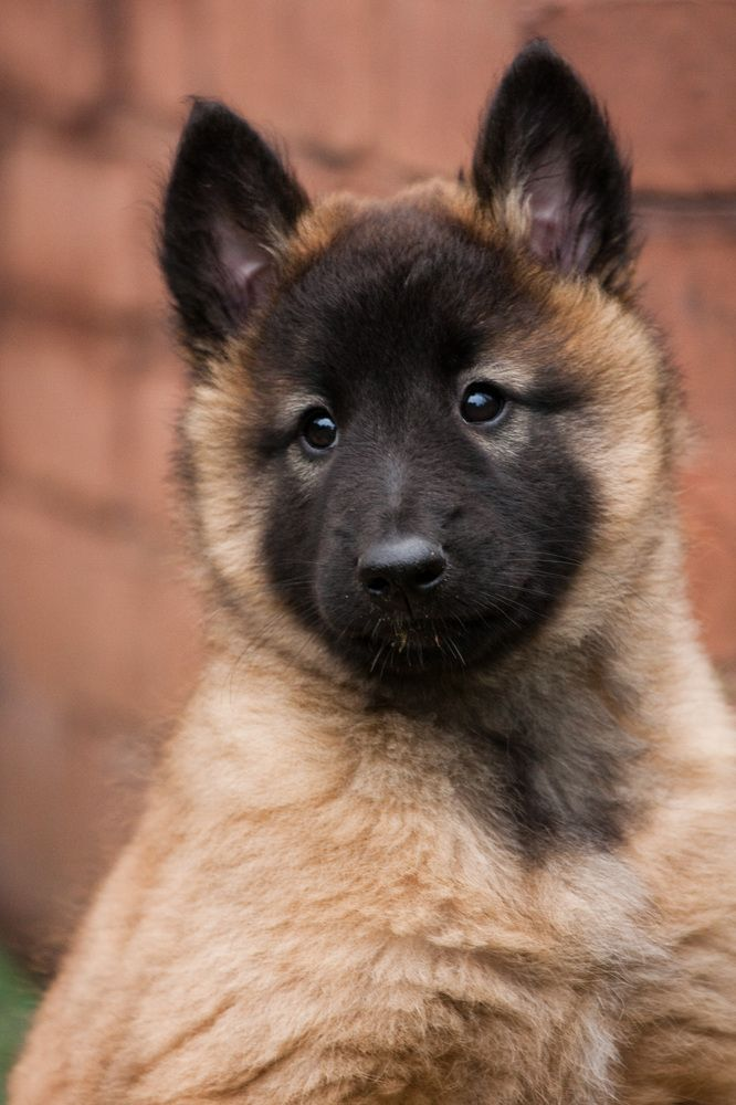 Tervueren ( Belgischer Schäferhund ) http://fc-foto.de/34999406