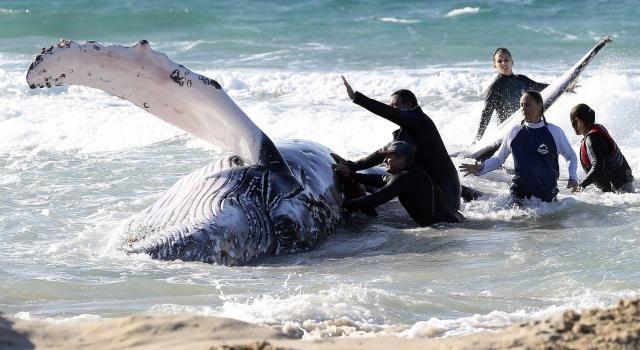 Australie. 30 heures d'efforts pour sauver un bébé baleineau. Les échouages de baleines sont relativement fréquents en Australie, mais les scientifiques peinent à trouver des explications à ce phénomène.  Les baleines à bosse effectuent actuellement leur migration annuelle, de l'Antarctique vers les eaux du Queensland, où elles s'accouplent ou mettent bas.