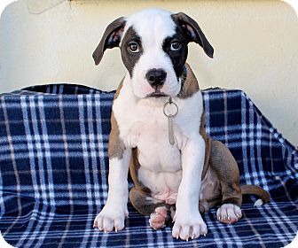 Los Angeles, CA - Boxer/Pit Bull Terrier Mix. Meet Uno, a puppy for adoption. http://www.adoptapet.com/pet/16997246-los-angeles-california-boxer-mix
