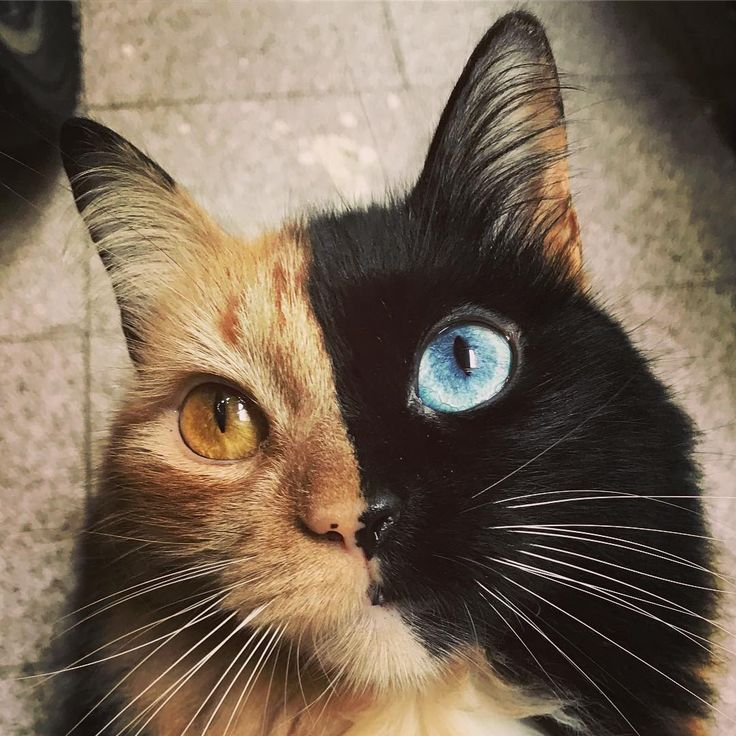 Quimera, the cat has two completely different sides to her face | Metro News