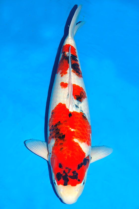 16 best nishikigoi variety showa sanshoku images on for Exotic koi fish