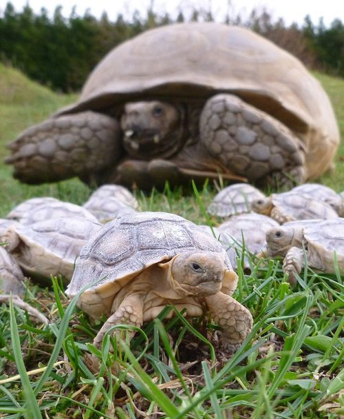 African Sulcata Giant Tortoise Hatchlings!