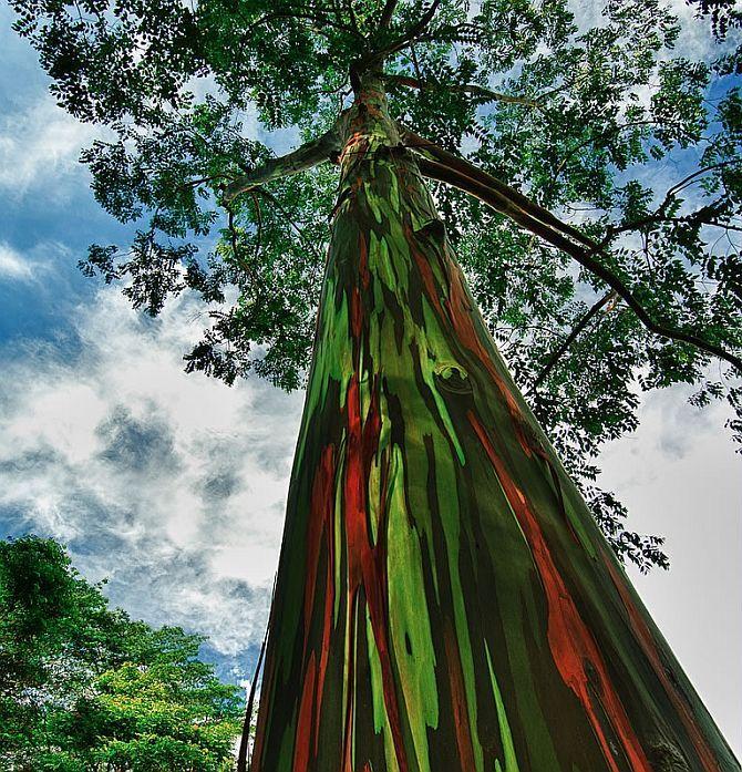 Радужный эвкалипт (Eucalyptus deglupta) - Туристический портал - Мир красив!