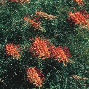 Grevillea 'Coconut Ice' Grevillea Coconut Ice is a medium shrub with large pink and orange brushes most of the year. Evergreen drought hardy shrubs with attractive foliage and masses of flowers. Bird attracting. Grows 1.5-2m wide x 1-1.5m high.