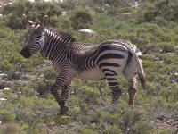 See some of the near extinct Cape Mountain Zebra around Rietfonein