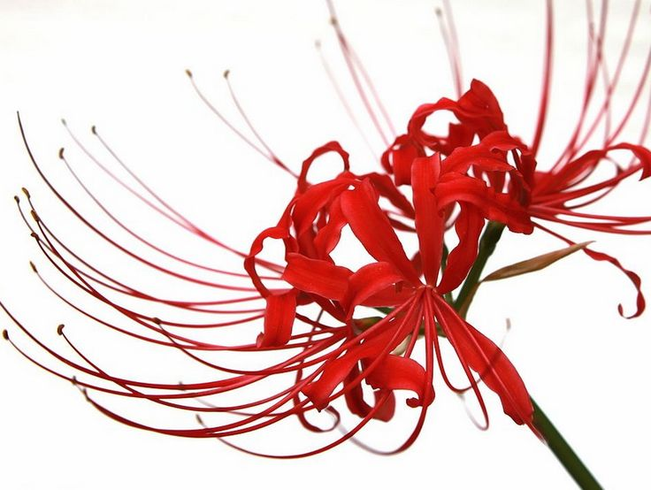 25 best Bỉ Ngạn Hoa images on Pinterest | Spiders, Red ...