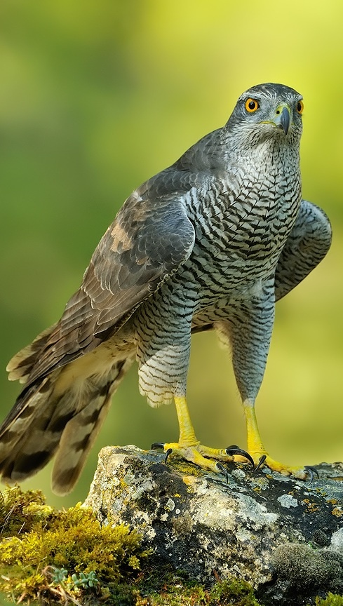 Northern Goshawk ( Accipiter gentilis ) Azor Común, inhabits temperate parts of the Northern Hemisphere. Widespread in deciduous forests of Europe.