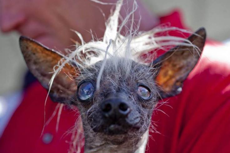 World's Ugliest Dog contest 2014: Top 10 photos | Metro News