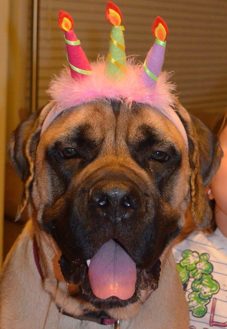 Happy Birthday Bull Mastiff Pinterest Happy Birthday