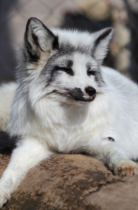 **This isn't an arctic fox it is a marble-phase Red Fox (Vulpes vulpes), a color morph only found in captive bred foxes.