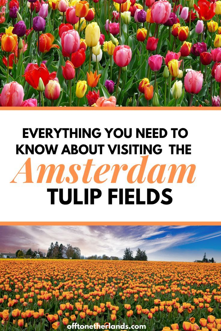 One Of The Best Things To Do In Amsterdam Is Visit The Tulip