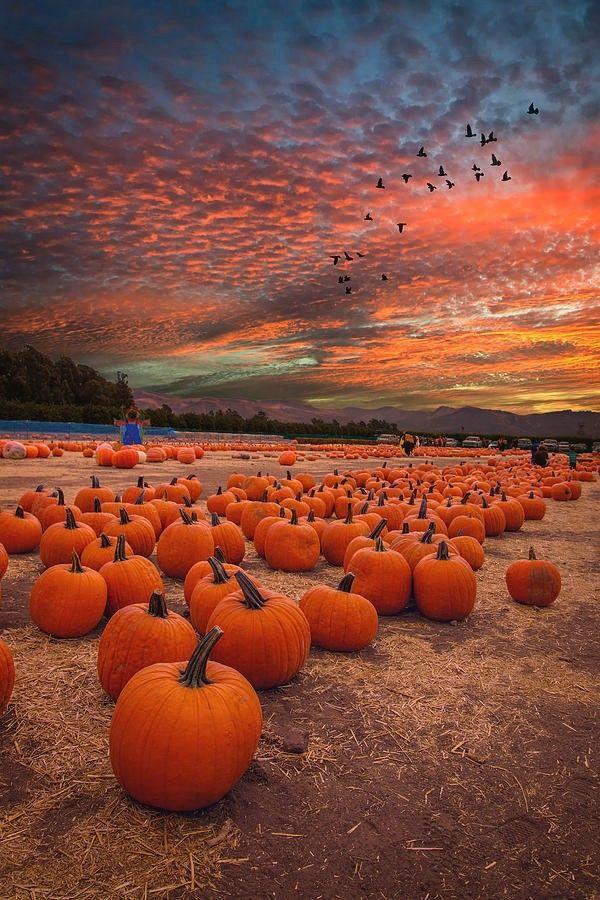 Pumpkin Harvest Sunset By Lynn Bauer Fall Pictures Nature Pumpkin Field Pumpkin Wallpaper