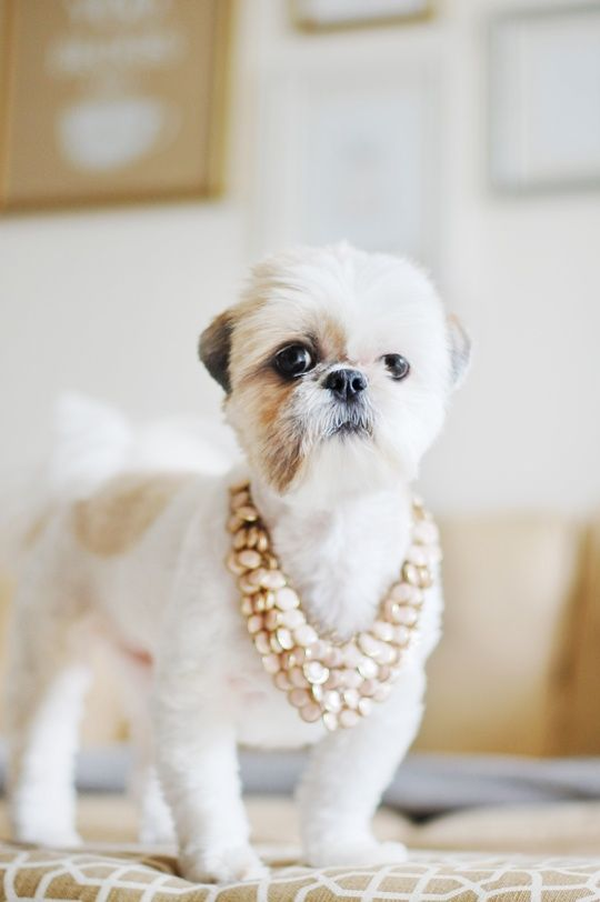 shih tzu short hair styles 17 best images about shih tzu on pets pug mix 7037 | 9f8d2cff7a0d149dc88001ce78bc1eab