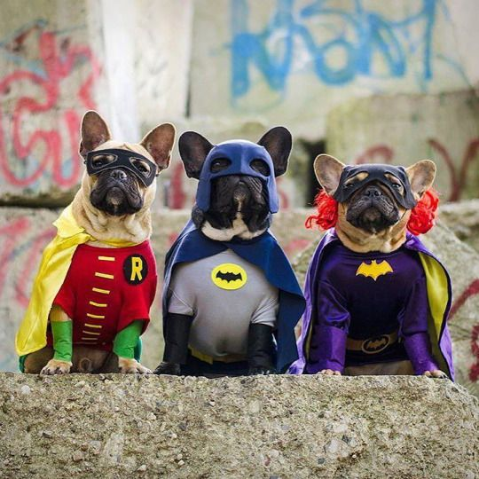 """""""Well Guys, looks like the City is Safe again....Good Job"""", Crime fighting French Bulldogs in Batman & Robin costumes."""