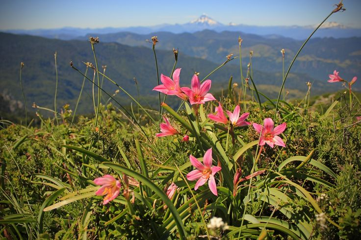 """Wildflower """"Añañuca de los Andes"""" Pucon - Chile by Jorge Campos on 500px"""