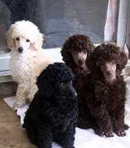 Miniature Poodle breeders, Miniature Poodle puppies, Miniature Poodles
