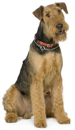 101 best ideas about anything airedale on Pinterest  Dog pillows, Pets and Fisher