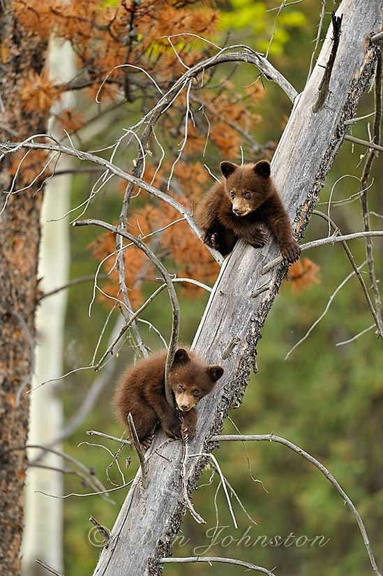 Bear cubs in the Canadian Rockies                                                                                                                                                      More