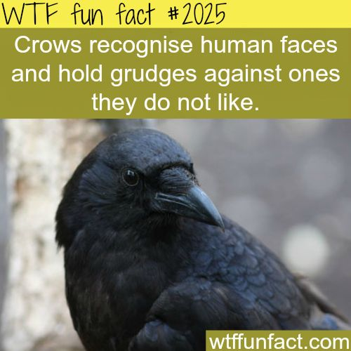 Crows recognise human faces - WTF fun facts - @Ola Luv D Finally an explanation for Crest Crows